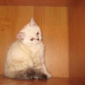 Продается британский котенок девочка с голубыми глазами