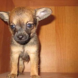 Продается щенок русского той-терьера мальчик.