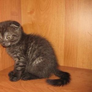 Продается вислоухий котенок девочка.