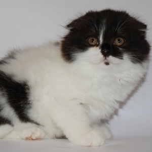 Британские, шотландские вислоухие котята
